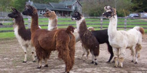 "SNOWFLAKES: Colleges Recruit ""Therapy Llamas"" For Stressed Students"